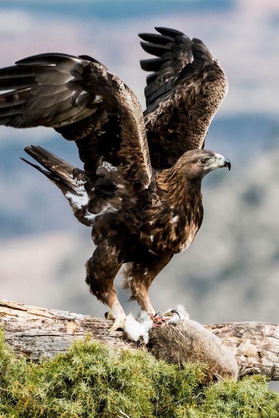Hospedería Bajoelcejo. Fotografía de águila